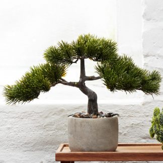 BONSAI Kiefer ASA H 24,5 cm